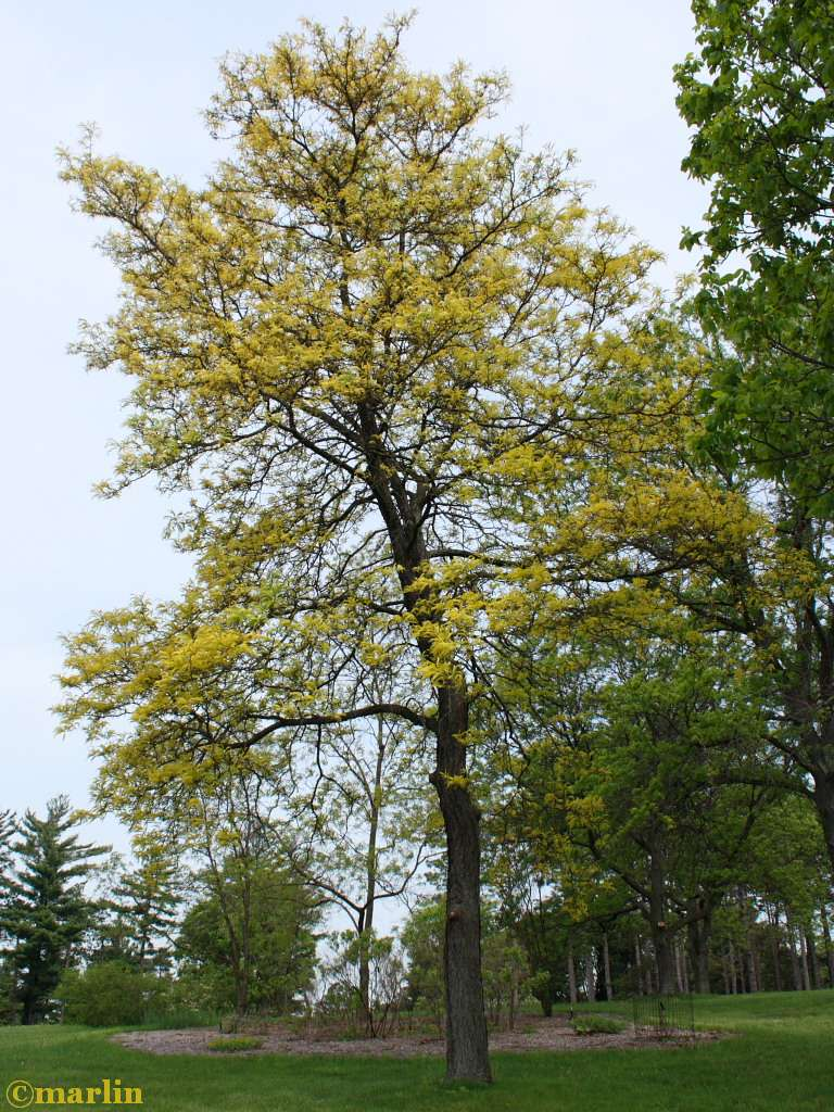 Sunburst honey locust