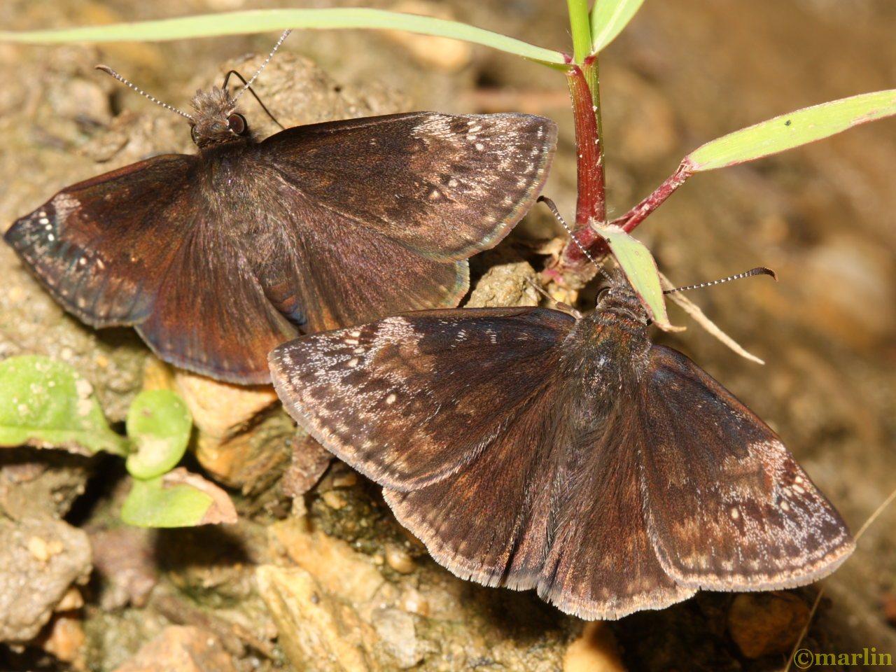 Wild indigo duskywings puddling