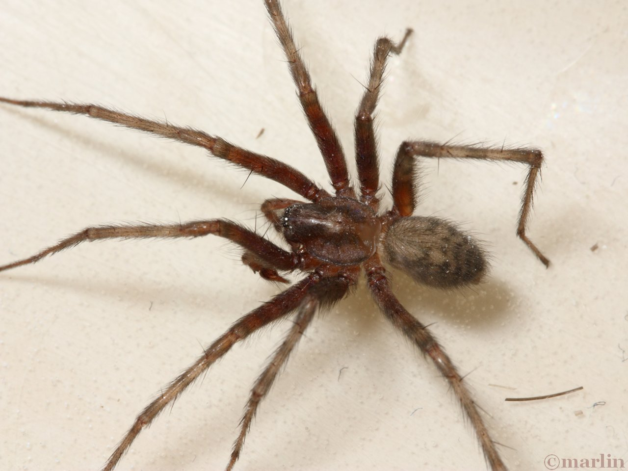 Barn Funnel Weaver Spider - North American Insects & Spiders