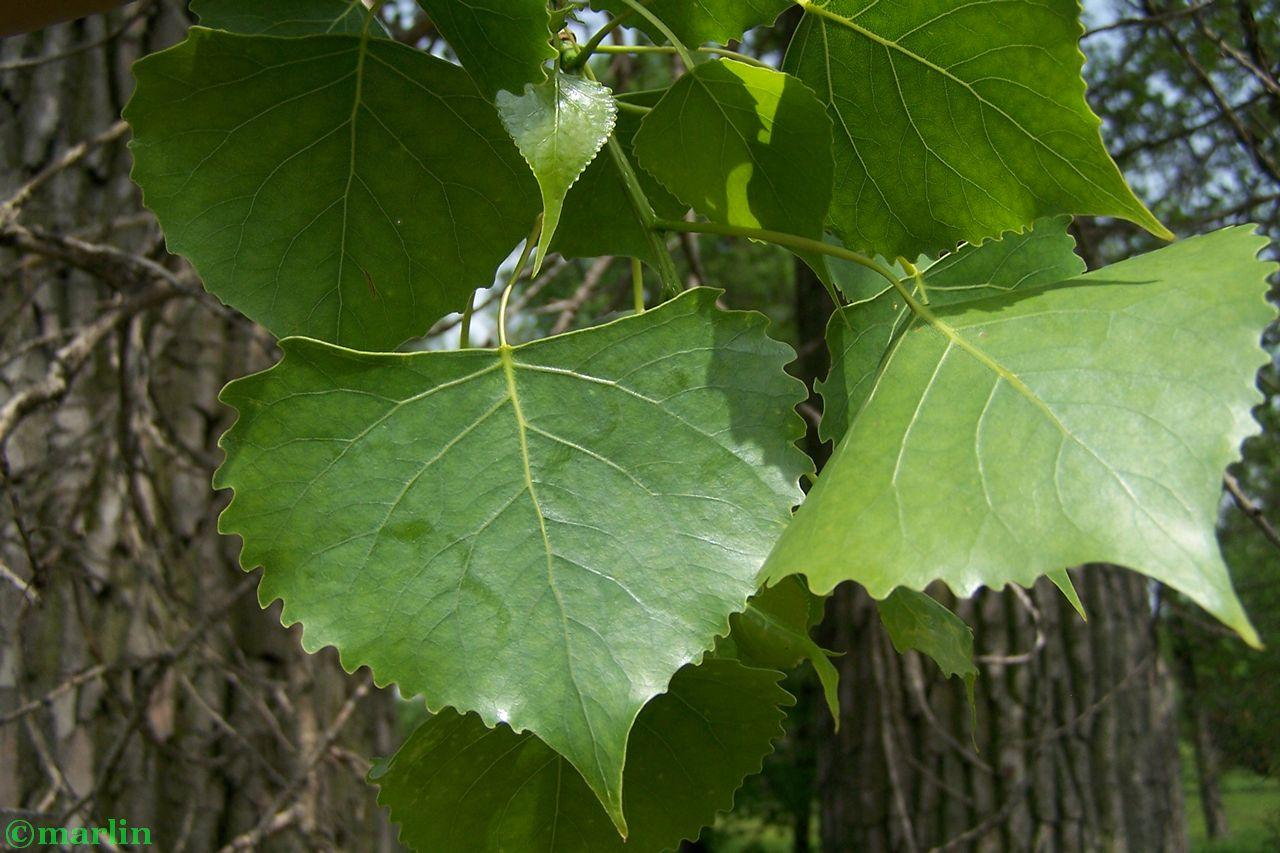 Eastern cottonwood foliage
