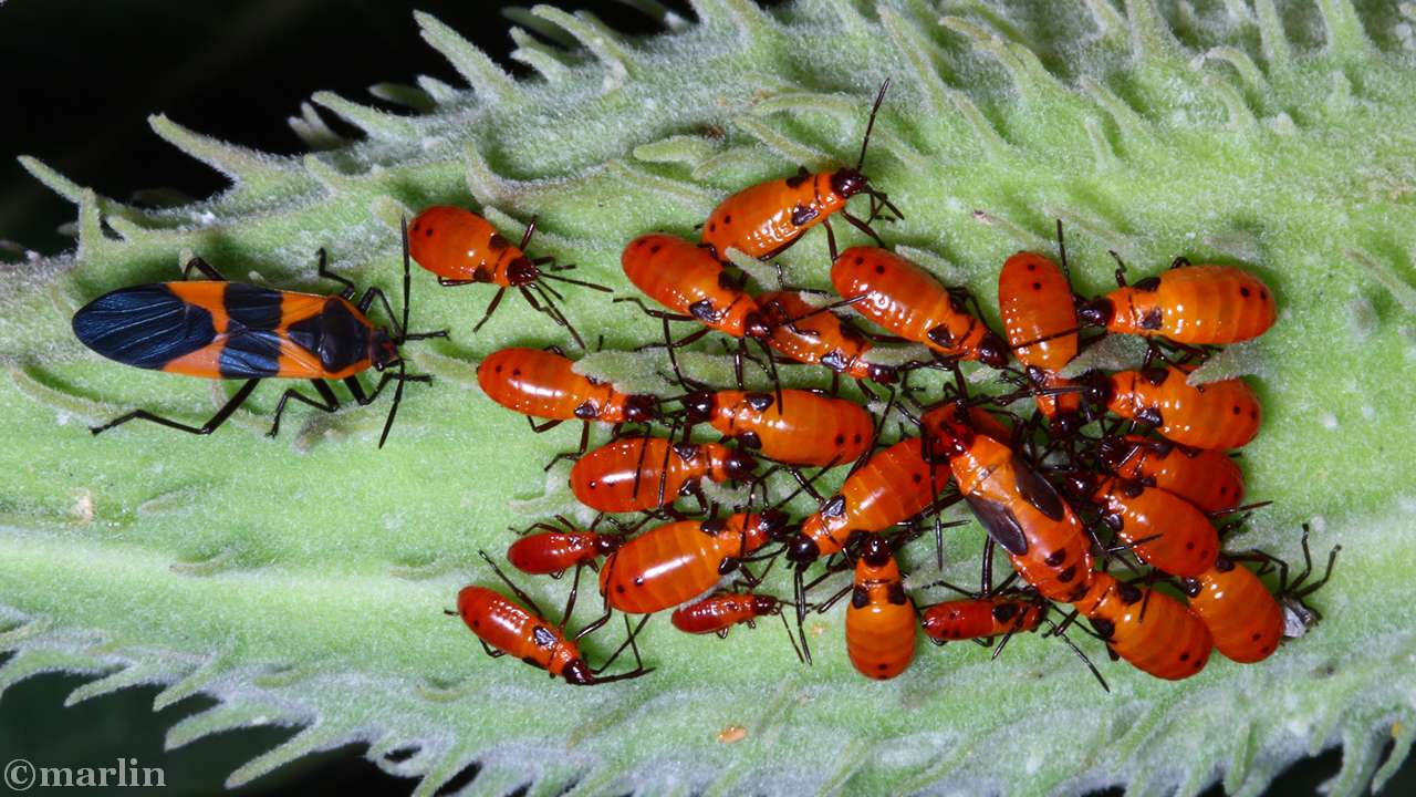 Adult & nymphs