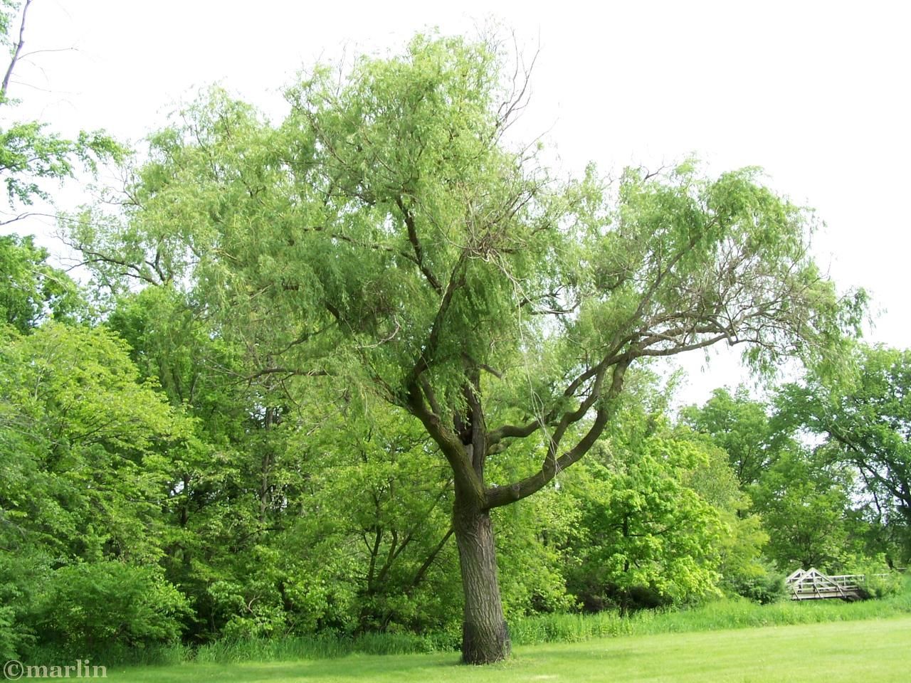 Old Willow