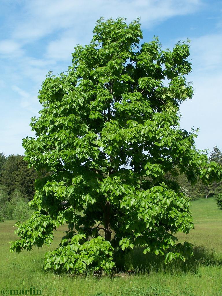 shagbark hickory habit