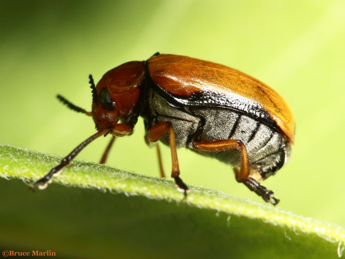 Clay-Colored Leaf Beetle