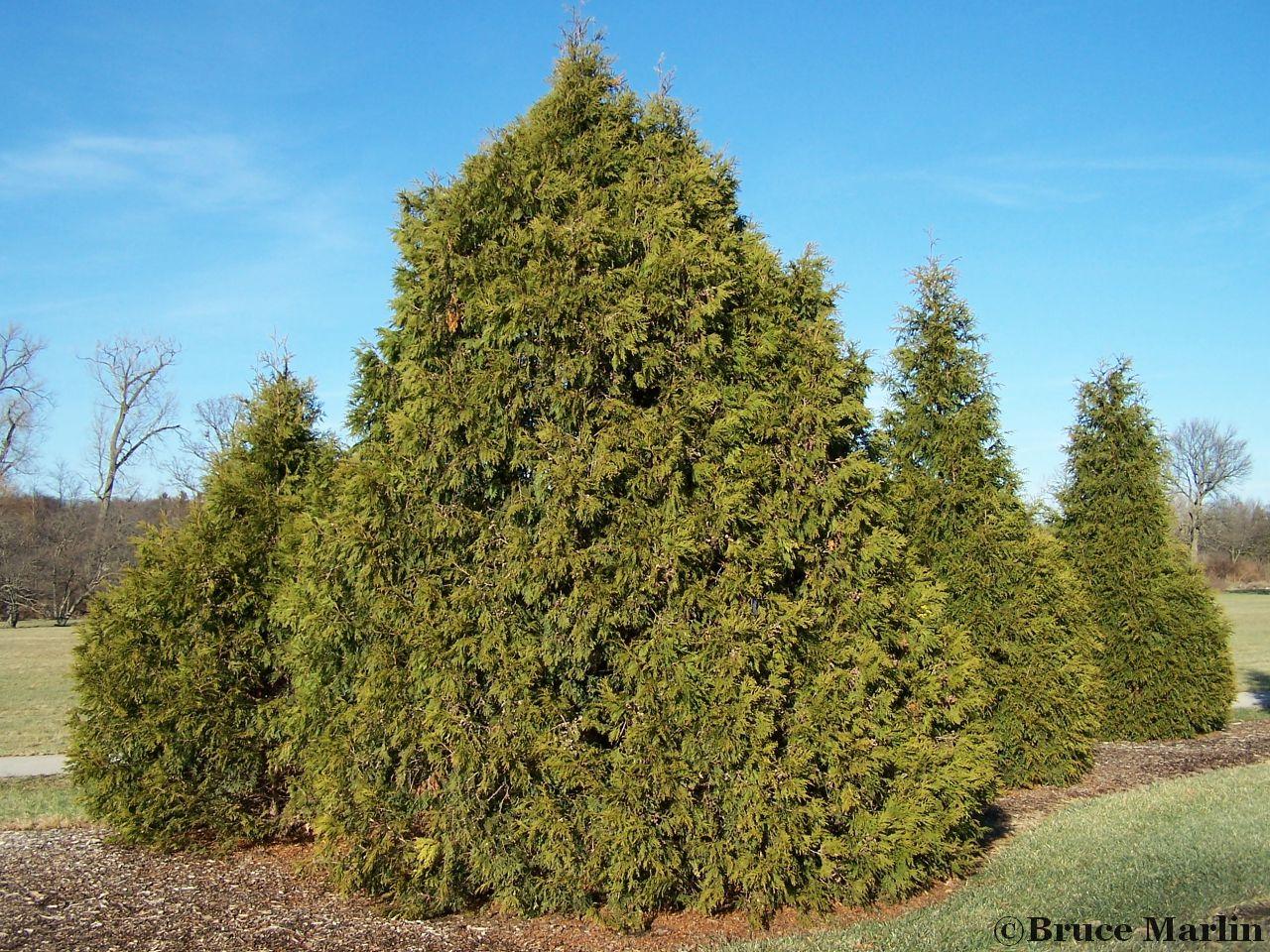 Family Cupressaceae - Elegant Arborvitae