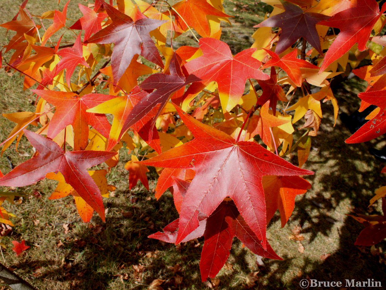 Family Hamamelidaceae - sweet gum foliage