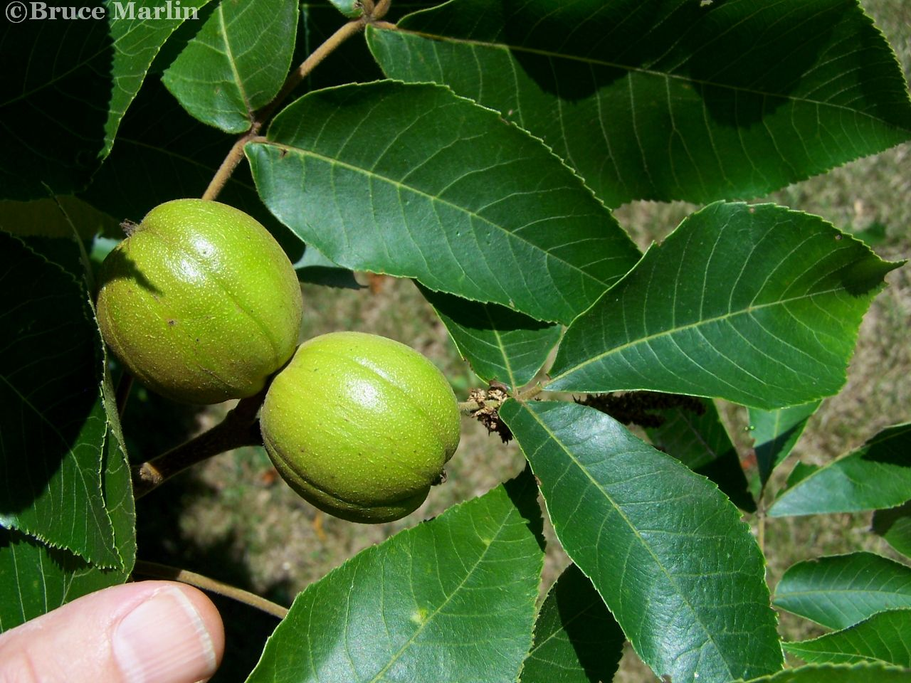 Hickory Nuts & Foliage