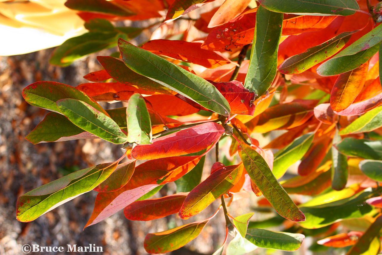 Family Laurelaceae - Laurel Family