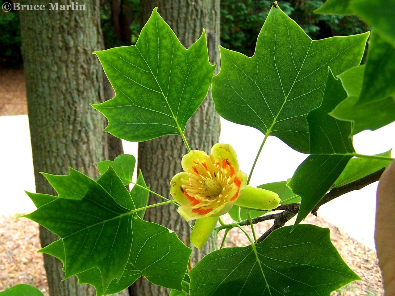 Magnolia Family; Tuliptree flower & foliage