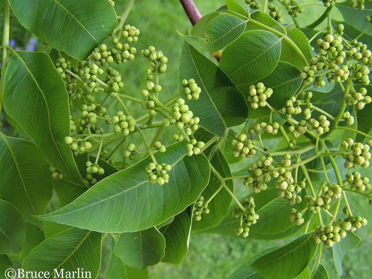 Rutaceae - Cork and Citrus Family