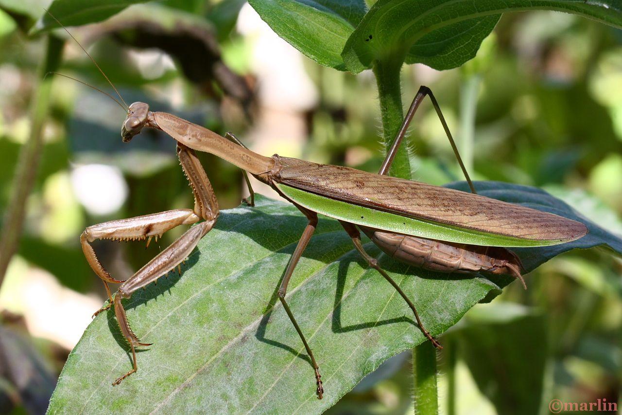 Southern Praying Mantis - Wikipedia