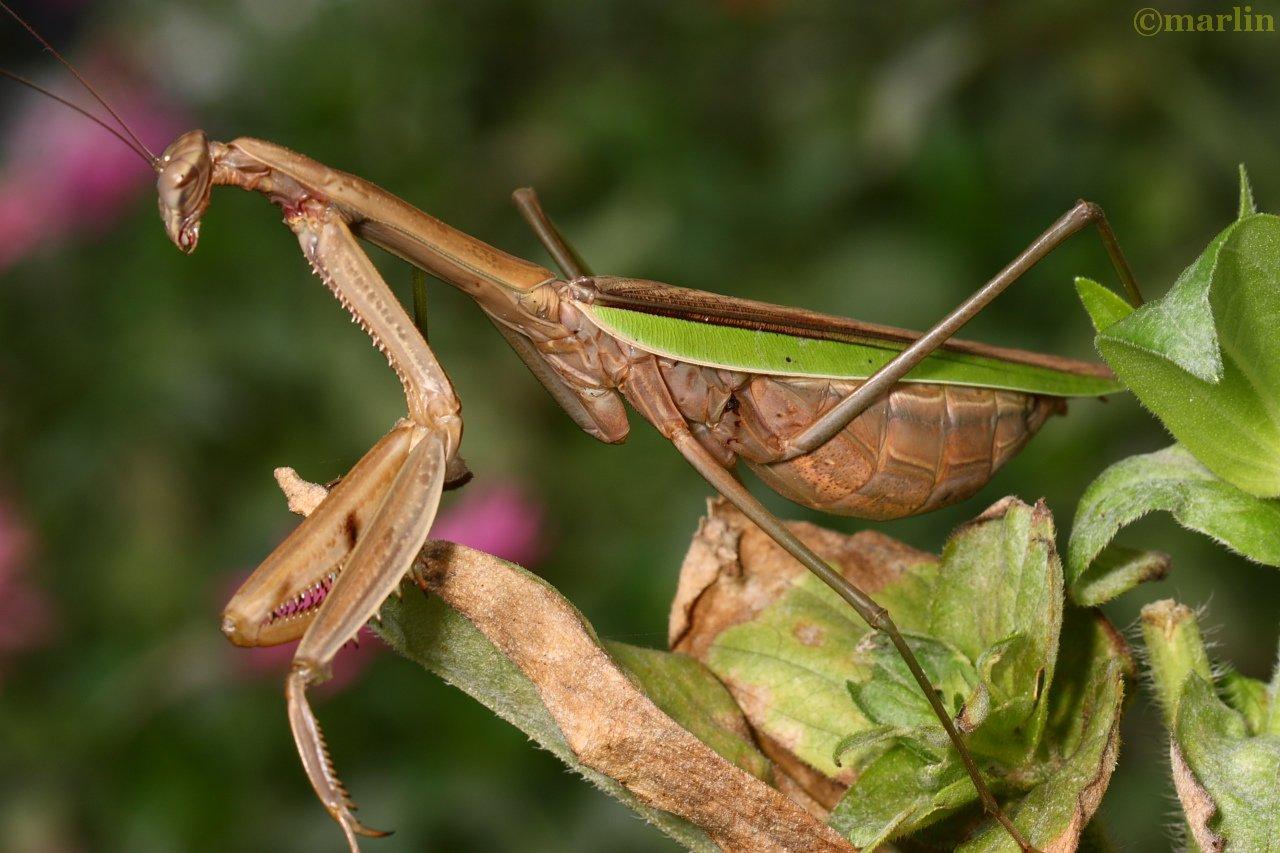 Seven Star Praying Mantis with Dog ... - Monkey Steals Peach