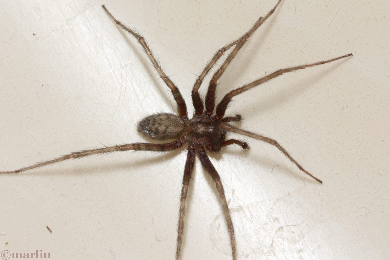 Barn Funnel Weaver Spider North American Insects Amp Spiders