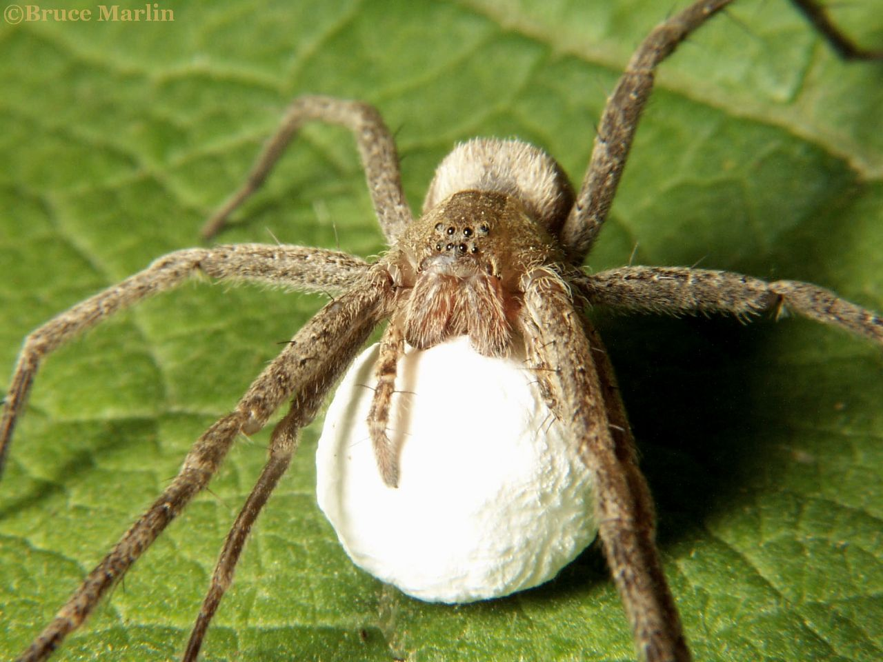 American house spider egg sac - photo#40